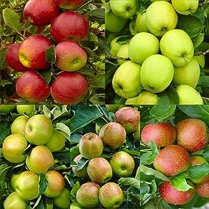 30+ Seeds Apple Tree Seeds Mixed Varaieties, Fruit Sweet Delicious