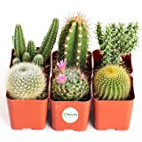 Shop Succulents | Can't Touch This Collection | Assortment of Hand Selected, Fully Rooted Live Indoor Cacti Plants, 6…