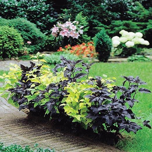 physocarpus Combo Diablo + dardos oro – 6 arbustos: Amazon.es: Jardín