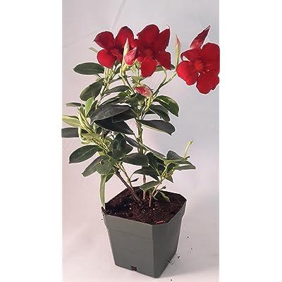 "Red Brazilian Jasmine Plant 4"" Pot - Indoors/Out - Mandevilla: Everything Else"
