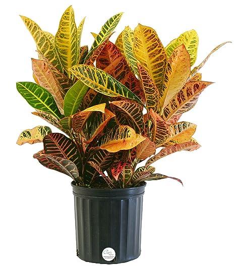 Amazon.com : Costa Farms Croton Petra Live Indoor Floor Plant in ...