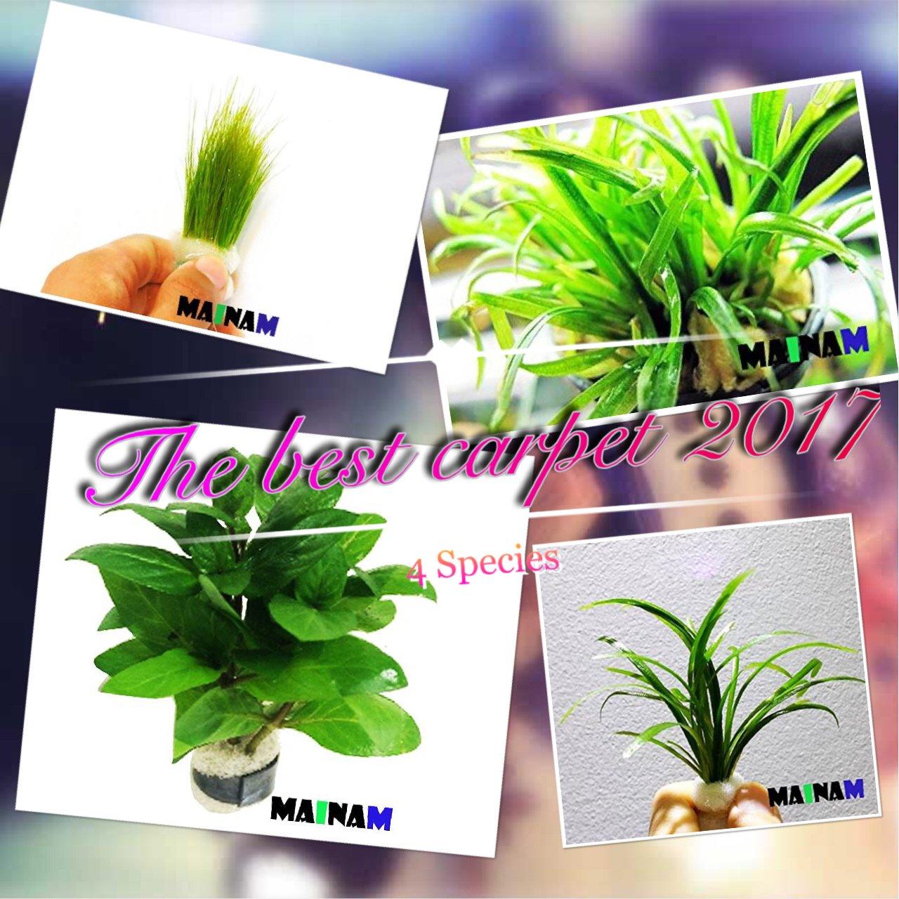 Mainam Live Aquarium Plants The Best 2017/4 Species - Dwarf Hairgrass, Micro Sword, Dwarf Sagittaria Subulata and Staurogyne Repens by Mainam