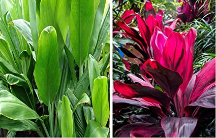 HAWAIIAN TI PLANT LOGS 1 RED 1 GREEN