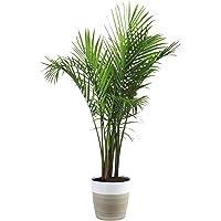 Costa Farms 3-Foot Tall Majesty Palm Tree