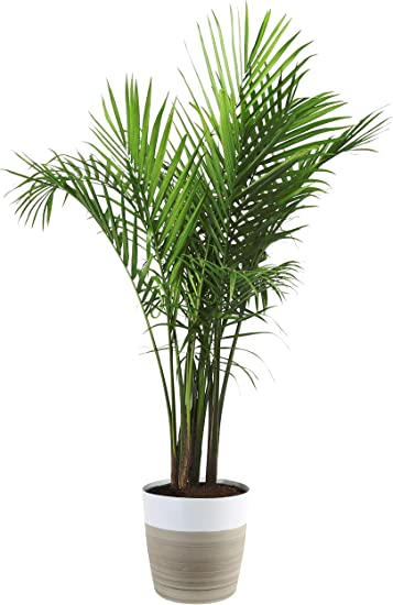 Costa Farms Majesty Palm Tree, Live Indoor Plant, 3 to 4-Feet Tall, on portola valley houses, pleasant hill houses, arroyo grande houses, mendocino houses, buena park houses, barstow houses, hughson houses, ladera ranch houses, twentynine palms houses, wildomar houses, coachella valley houses, lost hills houses, trona houses, fountain valley houses, canoga park houses, prather houses, sanger houses, salinas houses, los osos houses, sonoma county houses,