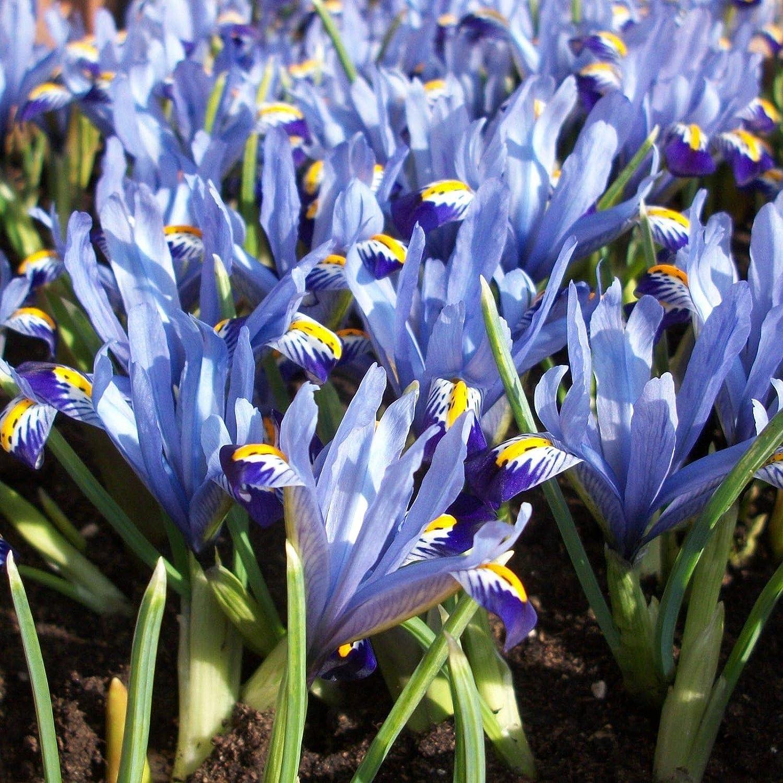Portal Cool 40: Lila Azul Enano Iris Armonía Bulbos flores perennes floreciente de la primavera