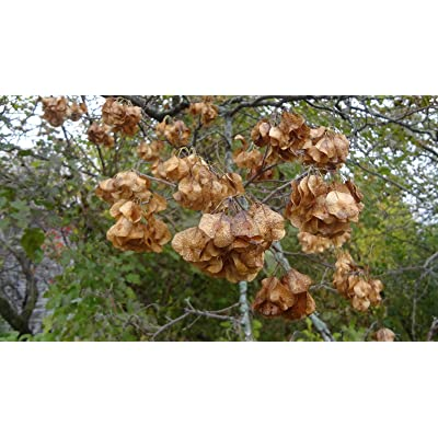 Tree Seeds - 35+ Seeds of HOP Tree Seeds, PTELEA TRIFOLIATA, Used in Brewing Beer and Ornamental : Garden & Outdoor