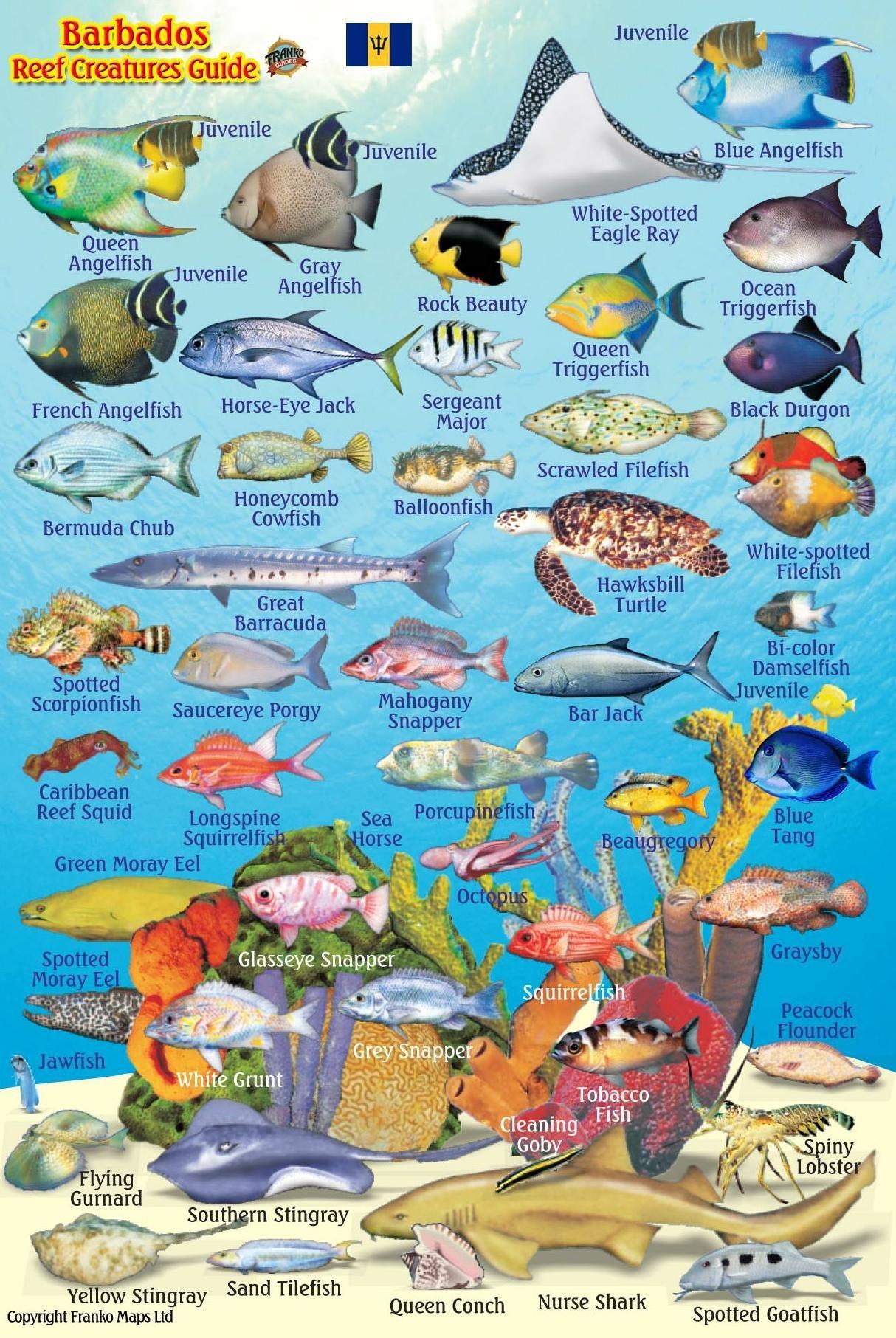 Barbados Reef fish species