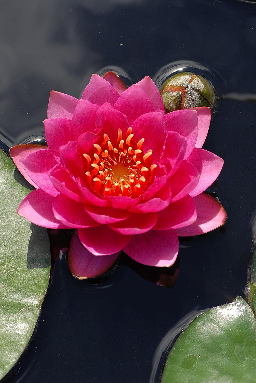 James Brydon water lily - pond plants - water lilies - aquatic plants Lincolnshire Pond Plants