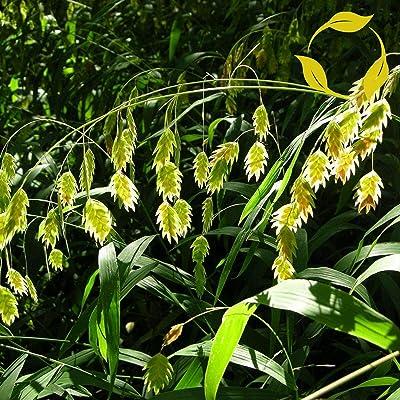 Northern SEA Oats Chasmanthium Latifolium 25 Seeds : Garden & Outdoor