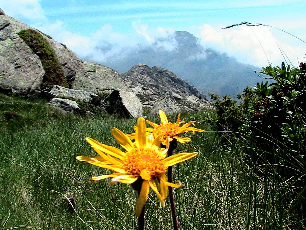 Asklepios-seeds/® Mountain Arnica Wolfs Bane leopards Bane Mountain Tobacco 100 Seeds Arnica Montana