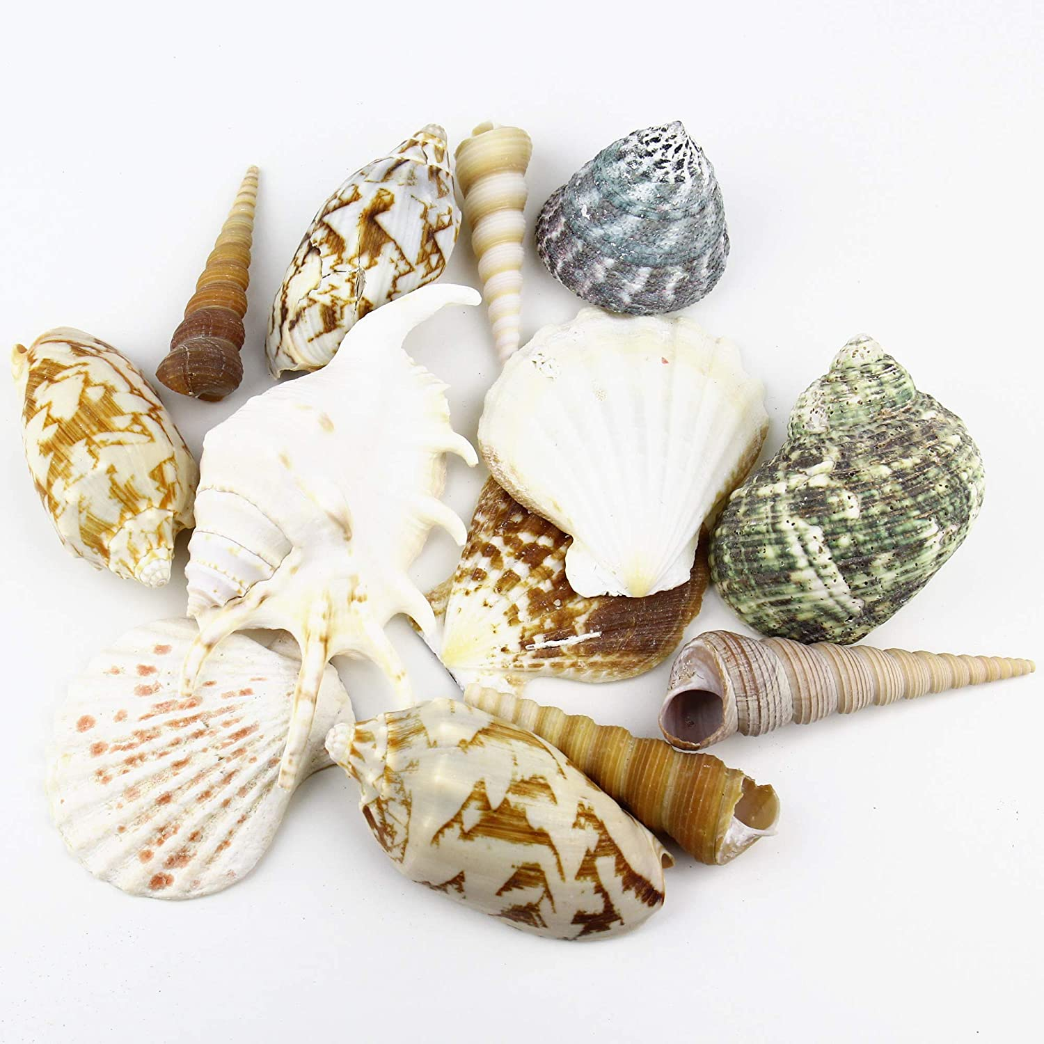 """CYS EXCEL Approx 15 sea Shells, Sized at 3"""" to 4"""", Mixed Beach Seashells, Arious Sizes Natural Seashells for Fish Tank, Vase Filler Sea Shells, Home Decorations, Wedding Décor"""