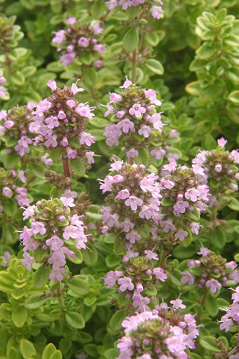 Perennial herb plant 5 Rosemary Foxtail Herb Plug Plants