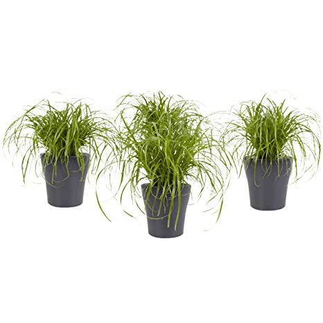 BOTANICLY | 4 × Plantas naturales – hierba para gatos con maceta gris como un conjunto