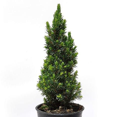 Amazon Com Picea Glauca Jean S Dilly Christmas Tree Spruce