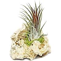 Tillandsia en roca de Zanzíbar, tamaño pequeño, 1 planta