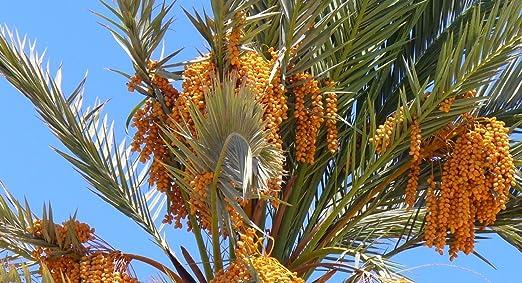 La verdadera palmera datilera, Phoenix dactylifera, Árbol 5 Semillas: Amazon.es: Jardín