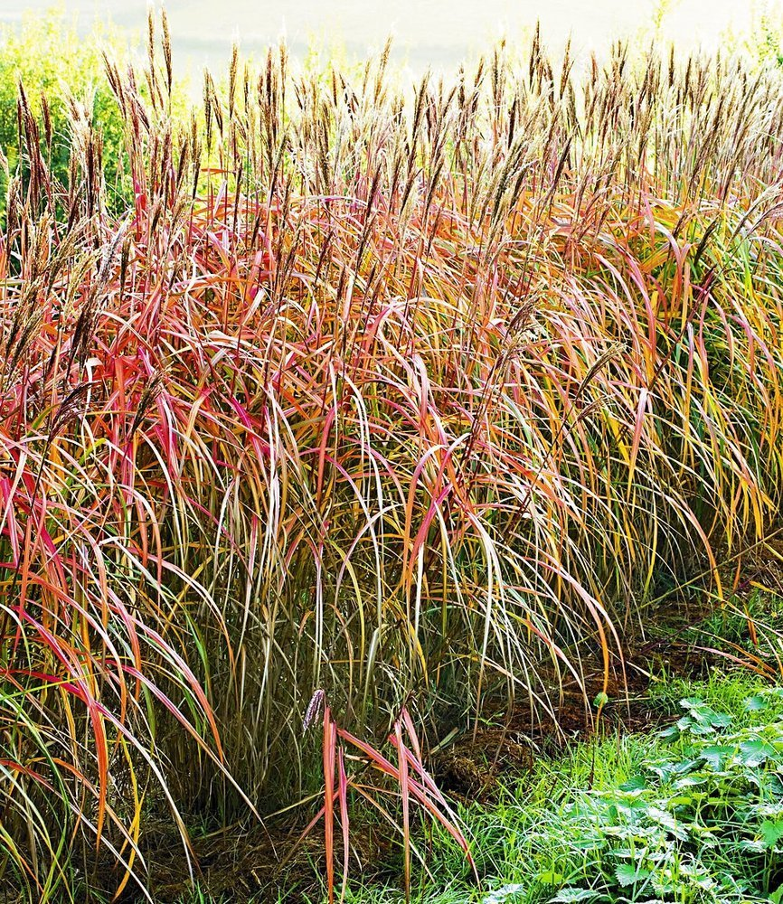 BALDUR Garten Miscanthus Hecke Chinaschilf 1 Pflanze Amazon