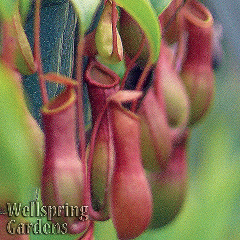 CARNIVOROUS Nepenthes 'Alata' Tropical Pitcher Plant - Live Plant by Wellspring Gardens (Image #1)