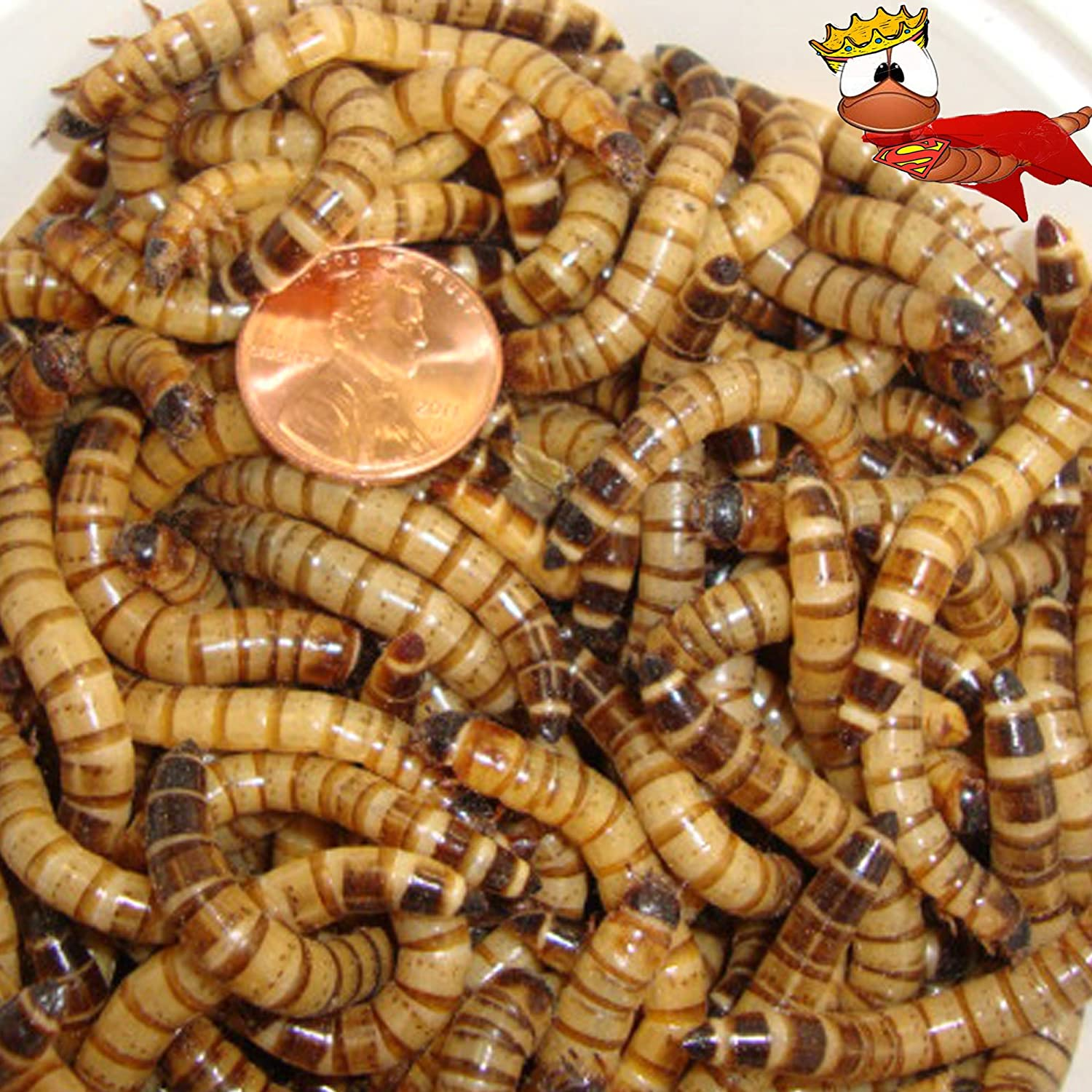 300Ct leben Superworms, Feed Reptile, Birds, Fishing Best Bait (Free Shipping)