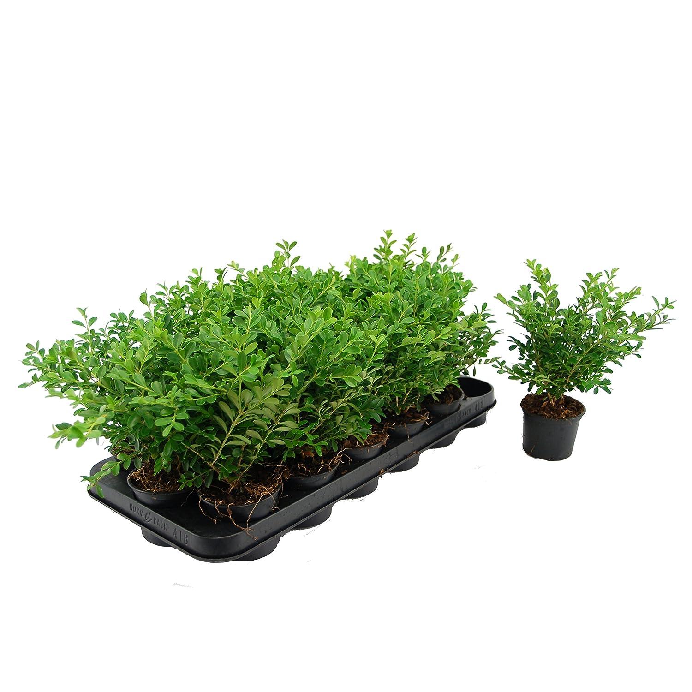 Pflanzenservice Buchsbaum Hecke Buxus 5 Pflanzen 12 15 cm