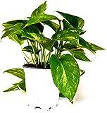 "9GreenBox - Golden Devil's Ivy - Pothos - Epipremnum - 4"" Pot - Very Easy to Grow"