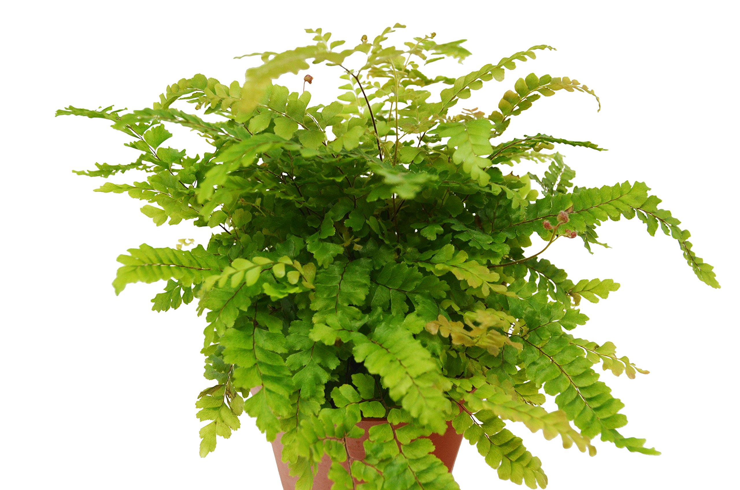 Rosy Maidenhair Fern - Live Plant - FREE Care Guide - 4'' Pot - Low Light House Plant