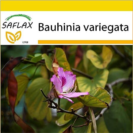 Baum Orchidee,G 10 Samen der Bauhinia tomentosa