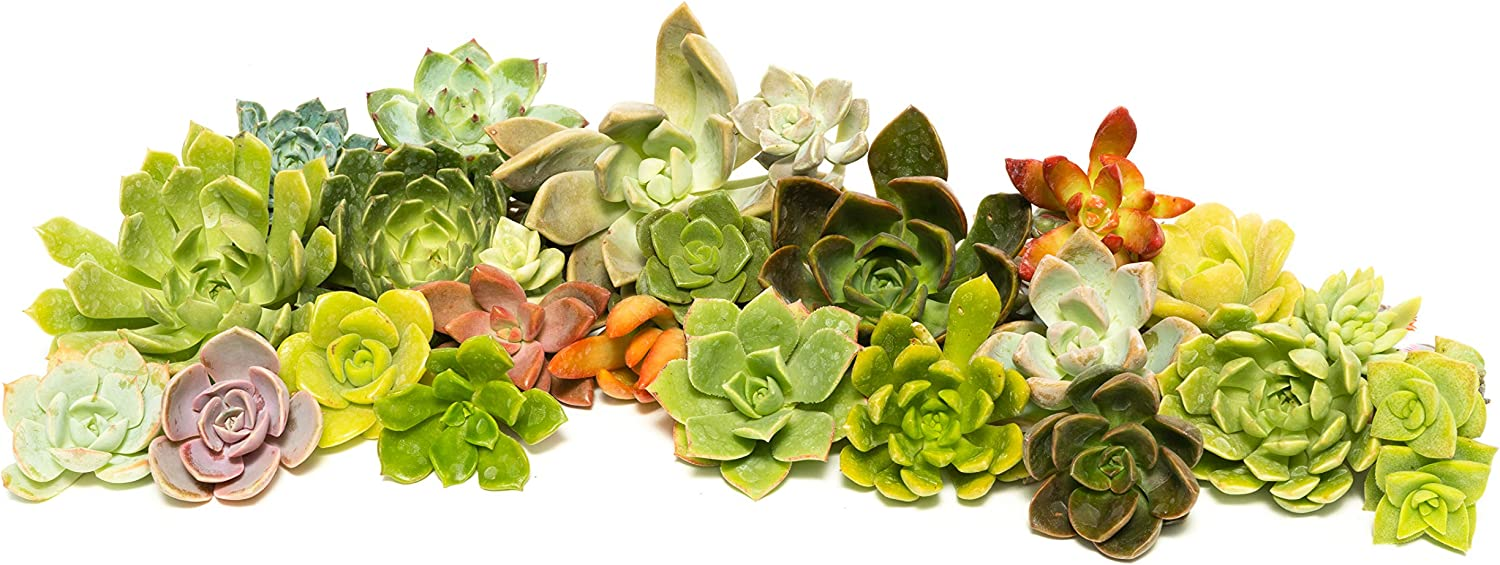 Succulent Rosette Cutting Pack- Brighten Up Your Garden with A Wide Variety of Healthy Rosette Succulent Plants Ready to Be Rooted by Jiimz (25 Pack)