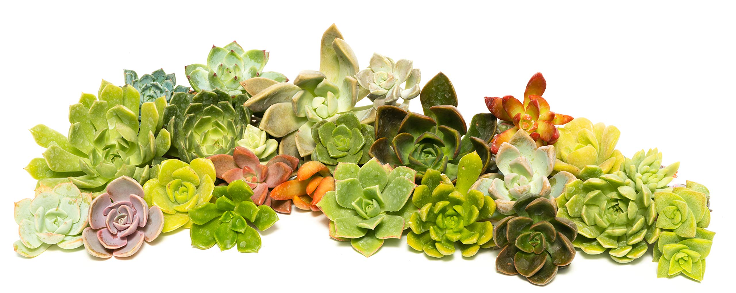 Succulent Rosette Cutting Pack- Brighten Up Your Garden with A Wide Variety of Healthy Rosette Succulent Plants Ready to Be Rooted by Jiimz (36 Pack)
