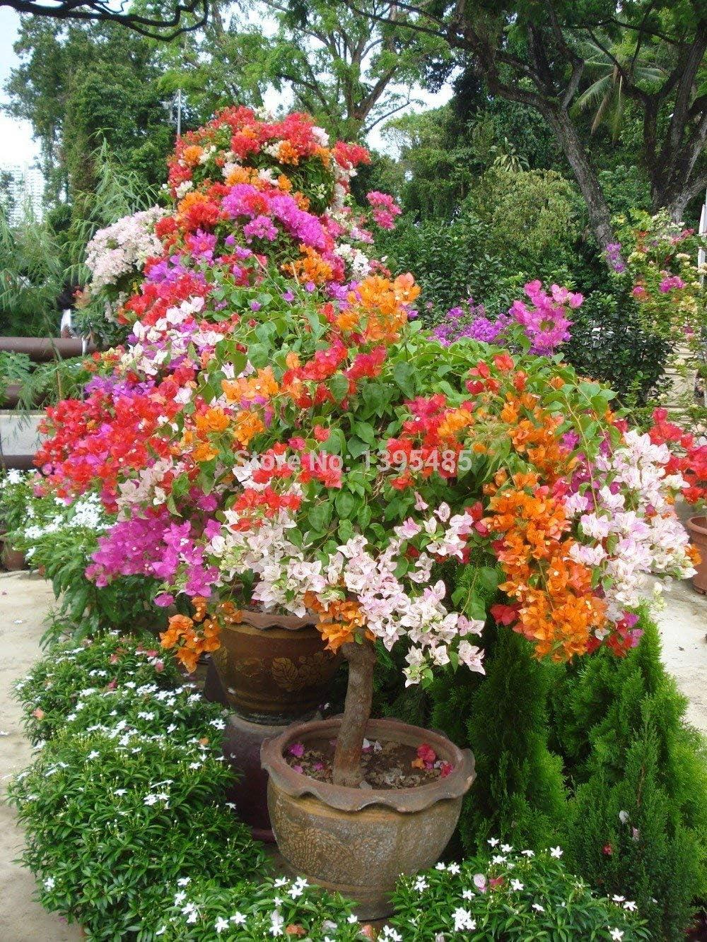 """100pcs Mixcolor 'Bougainvillea Spectabilis Willd"""" Seeds Bonsai Flower Plant Seeds Flowers Flower Pot planters"""