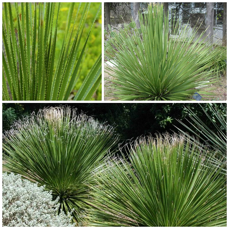 AGROBITS 10of Dasylirion texanum, grasse, CTI, Seme grasse R