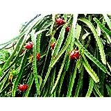 Drachenfrucht Pitaya Hylocereus undatus Pflanze 10cm Kaktus essbare Früchte