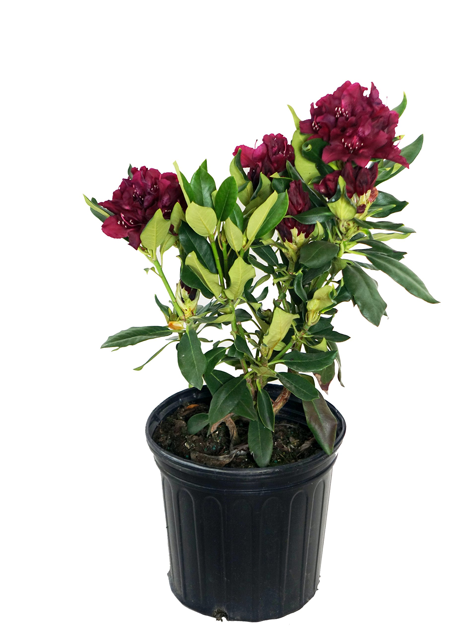 Rhododendron 'Dark Lord' (Rhododendron) Evergreen, Burgundy red Flowers, 2 - Size Container
