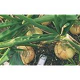 100 Samen Riesenzwiebel Ailsa Craig 'Exhibition', über 1,5kg Erntegewicht möglich