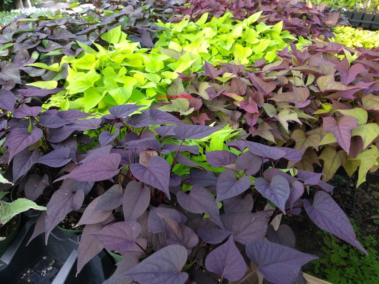IPOMOEA SWEET POTATO VINE - MIX COLORS - 50 PLANTS - STARTERS by joescrazyplants