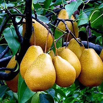 HOTUEEN 10 x White Florida Pear Guava Tropical Fruit Tree Seeds Psidium Guajava Edible Fruits : Garden & Outdoor