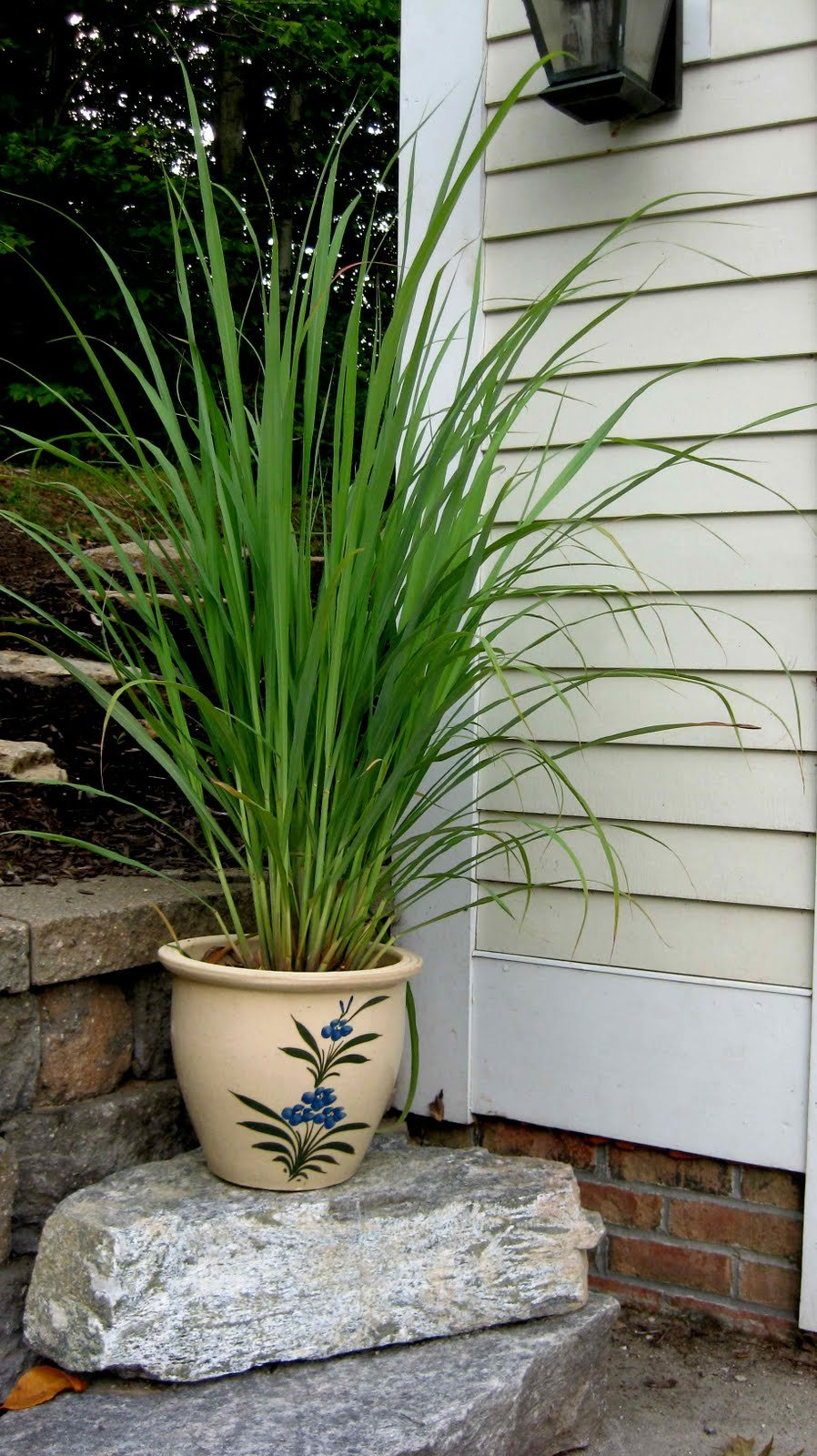 Clovers Garden 2 Nicely Sized Lemongrass Plants Live - Mosquito Repellent Plants 4''- 7'' Tall in 3.5'' Pots - Non-GMO Edible Medicinal Herb Cymbopogon
