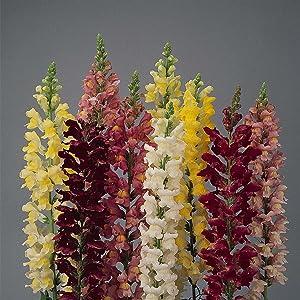 Snapdragon Flower Seeds - Rocket Series F1-1000 Seeds - Mix Color Blooms - Annual Flower Garden - Border Flowers