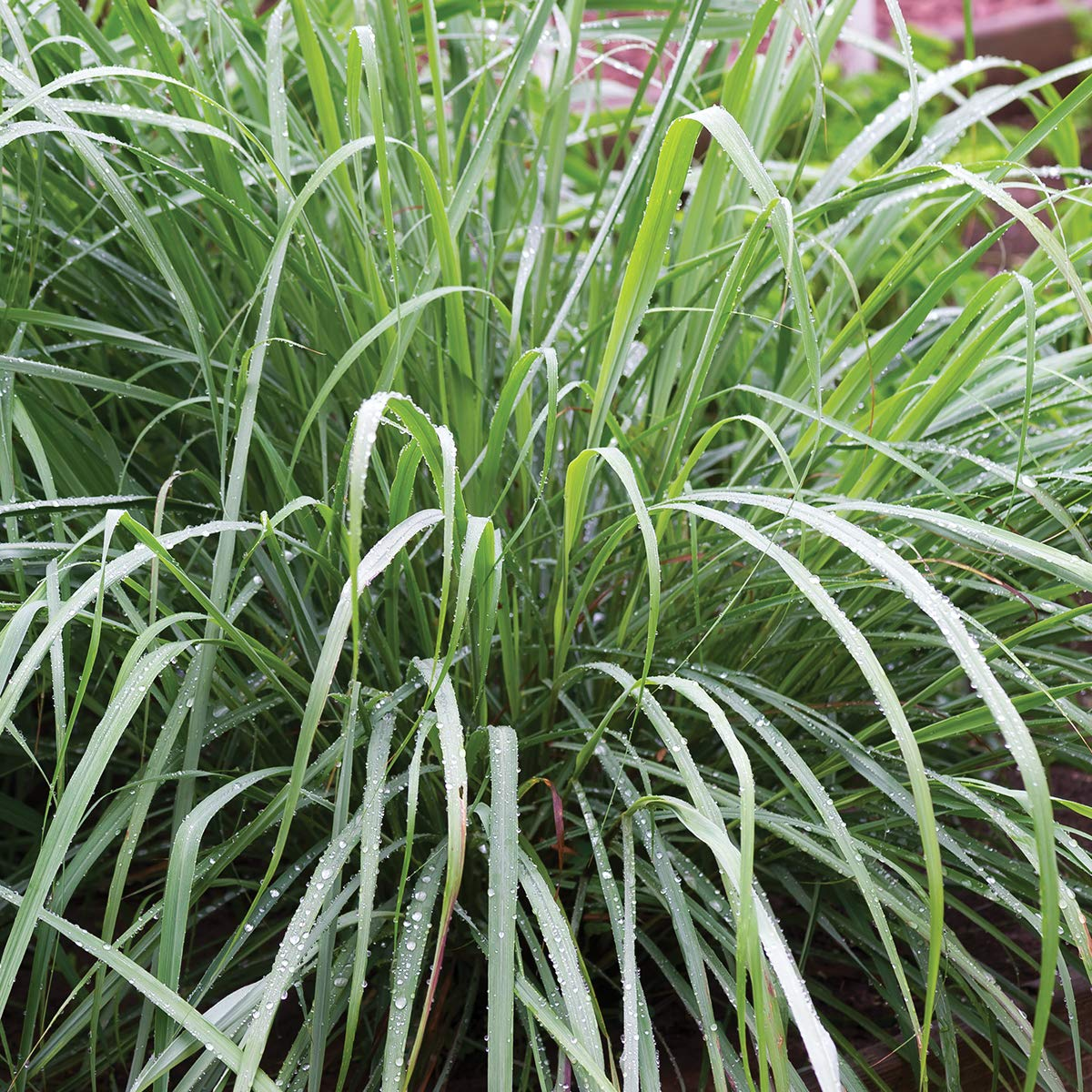 Burpee Lemongrass Herb | 3 Live Plants, 2 1/2'' Pot