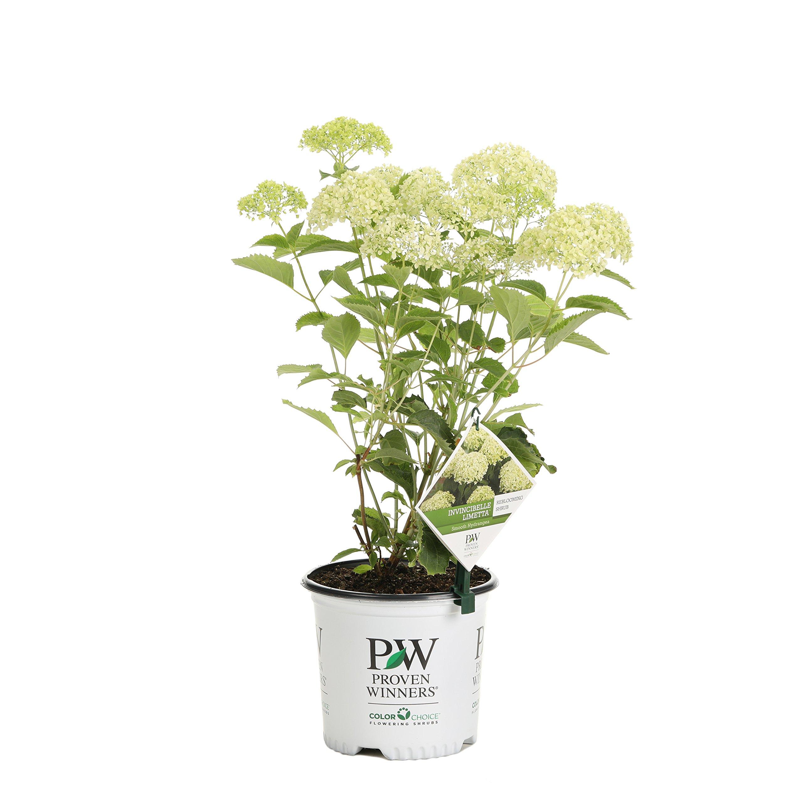 Invincibelle Limetta Smooth Hydrangea, Live Shrub, Green-White Flowers, 1 Gallon