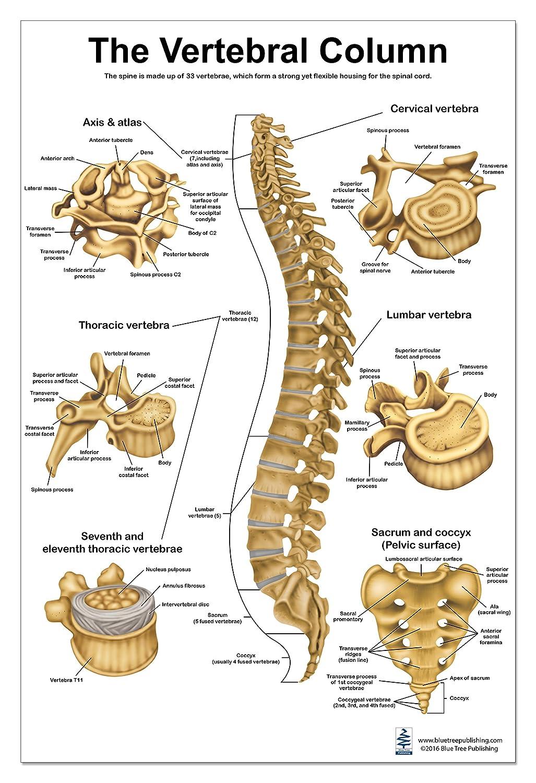 The Vertebral Column Anatomical Poster Size 24wx36t Amazon