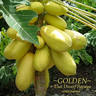 ~GOLDEN THAI~ Dwarf PAPAYA Short Tree YUMMY YELLOW FRUITS Fresh 10 Fine Seeds : Garden & Outdoor