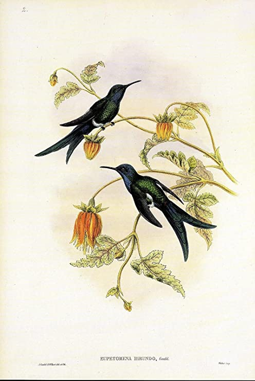 """1990 Vintage HUMMINGBIRD #s2 /""""WESTERN SWALLOW TAIL/"""" LOVELY GOULD Art Lithograph"""