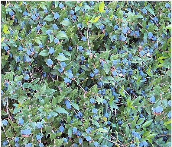 20 Seeds Common Myrtle Myrtus Communis