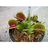 Medium Sized B52 Giant Venus Flytrap - Fly Trap - (Dionaea Muscipula) Carnivorous Plant 3 inch pot