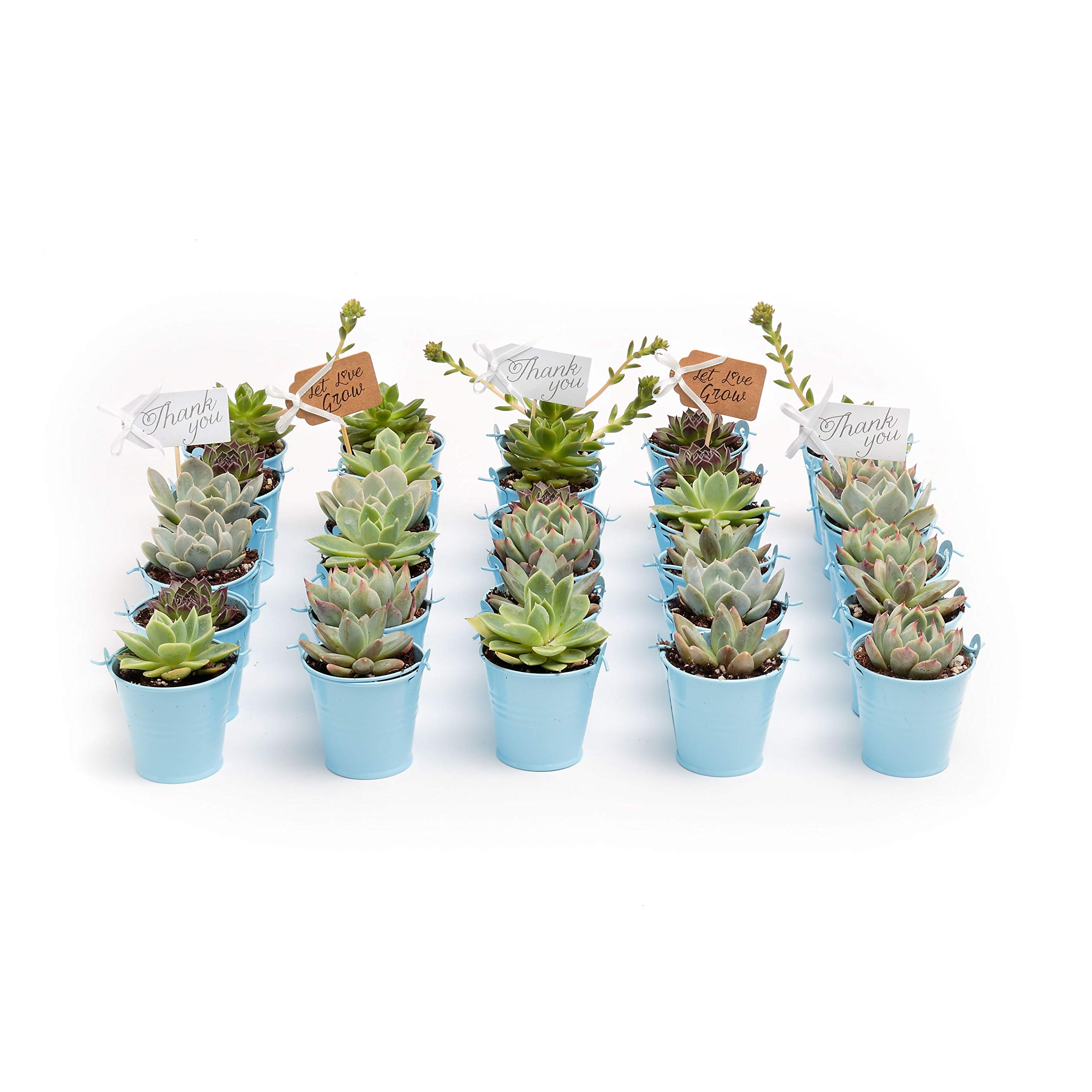 2 in. Wedding Event Rosette Succulents with Blue Metal Pails and Thank You Tags (30) by Succulent Source (Image #2)