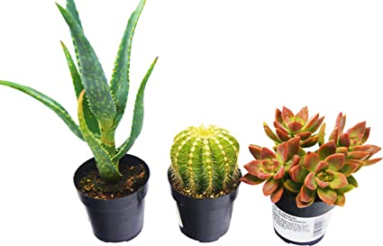 amazon com aloe vera succulent and cactus variety pack all