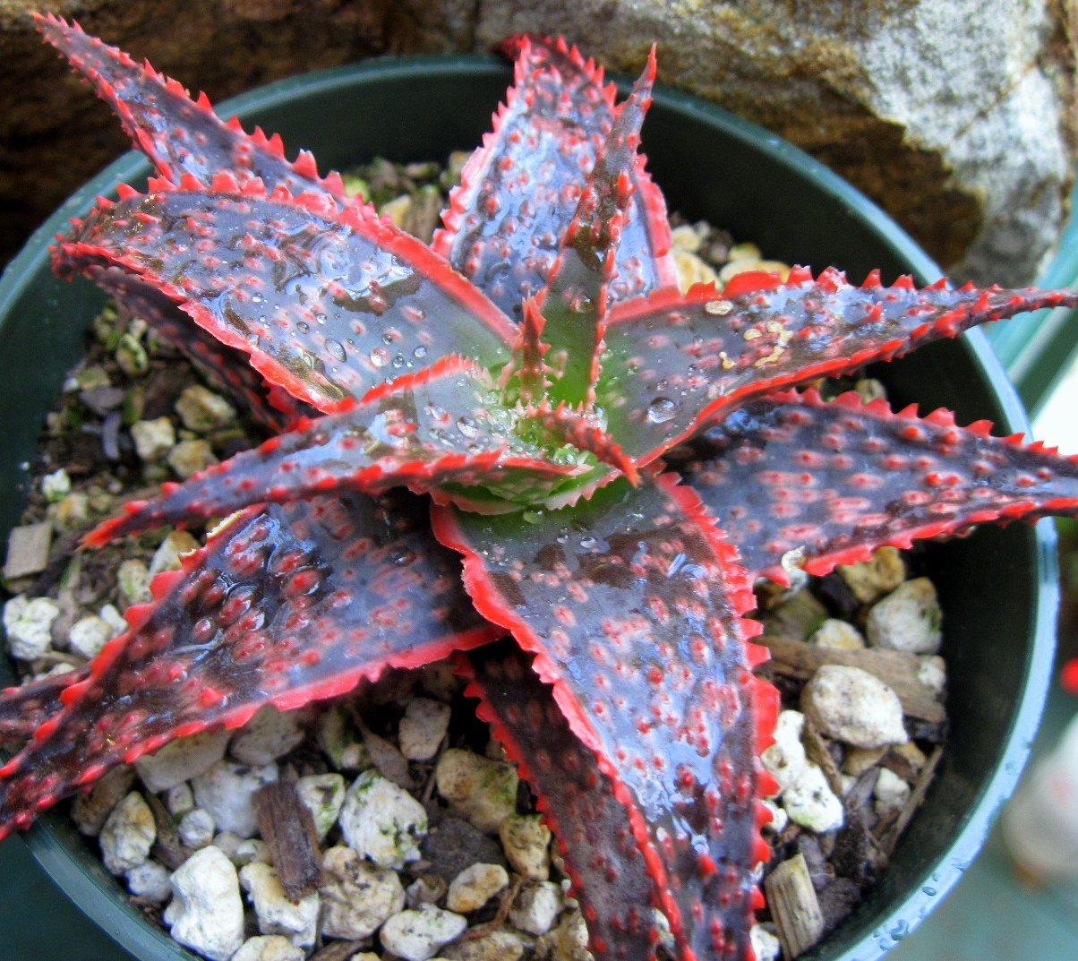Amazon.com : Heirloom 10 Seeds Aloe Christmas Carol @ Red Color ...