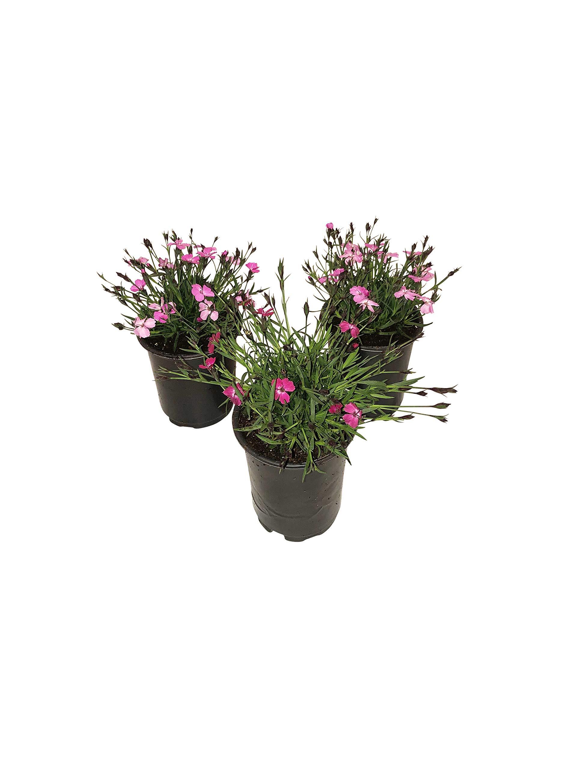 The Three Company Live 5'' Perennial ((Dianthus), 1 Quart Pot, Shades of Pink